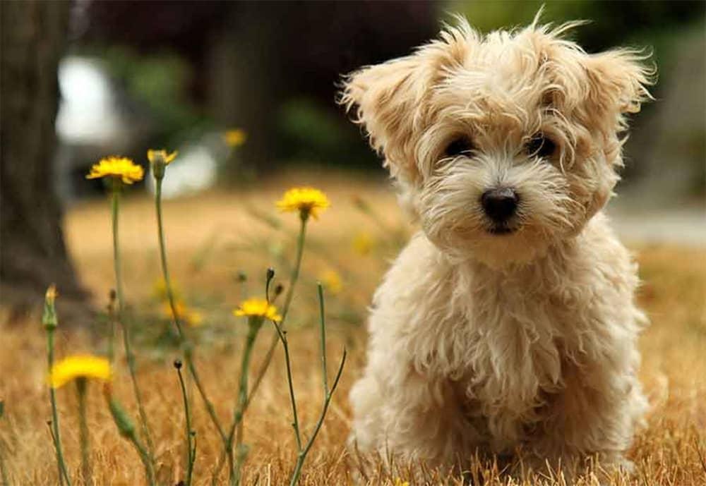 به 5 دلیل سگ نژاد پودل شما را شگفت زده خواهد کرد