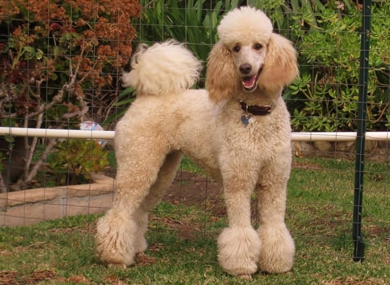 سگ نژاد پودل